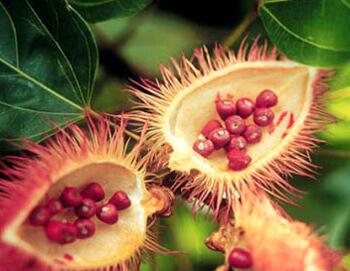 Colorant naturel mimolette rocou