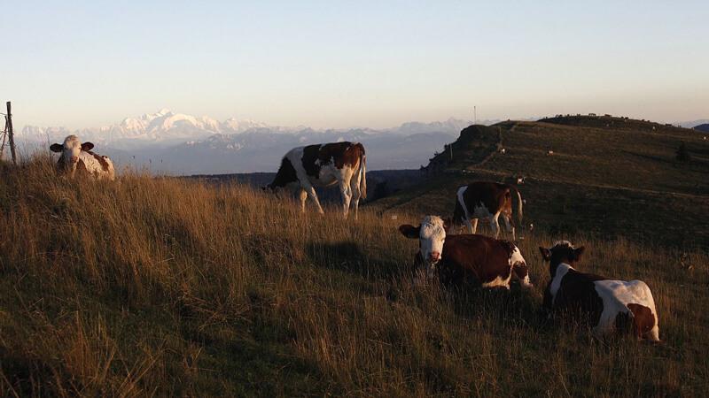 Fromage Comté et Vaches montbéliardes