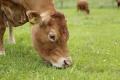 L'alimentation des animaux a-t-elle une incidence sur le fromage ?