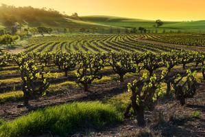 Champ De Vigne la culture de la vigne en 5 étapes par vineabox.la boite du fromager