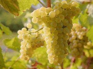 Le Chardonnay : cépage blanc des grands vins de Côte d'Or