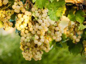 Le Viognier, Cépage Blanc présent dans le Sud-Est de la France