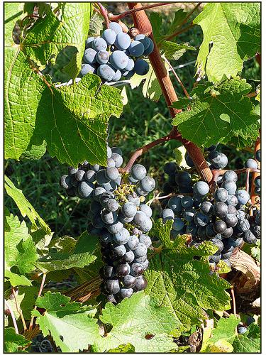 Le Merlot, cépage majeur des vins Rouges de Bordeaux
