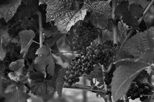 Le Pinot Noir, cépage connu pour les vins de Bourgogne